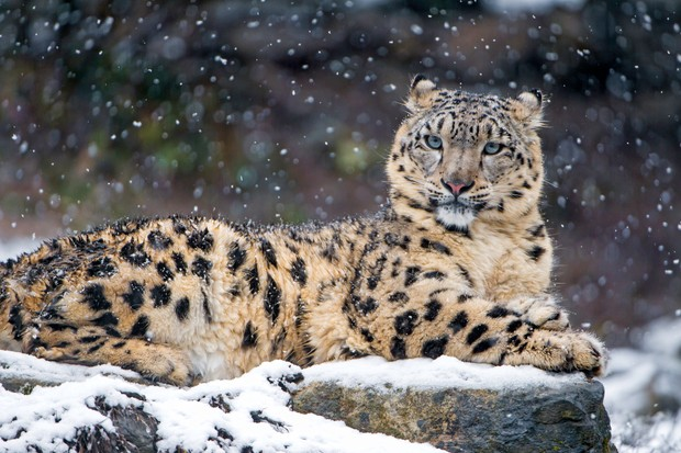 Snow leopardess on a rock