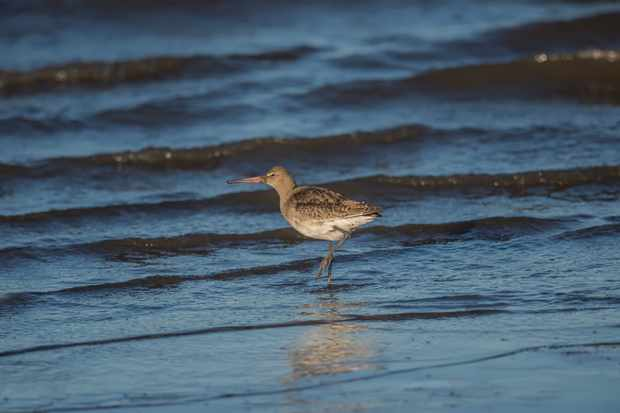 Black-tailed godwit on the shoreline © Abi Warner / Getty