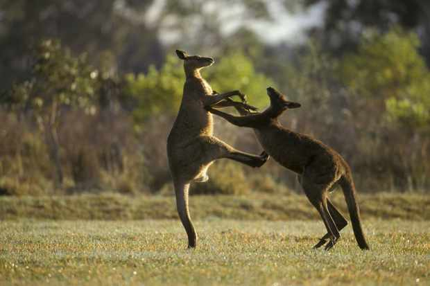 Boxing male eastern grey kangaroos (Macropus giganteus)