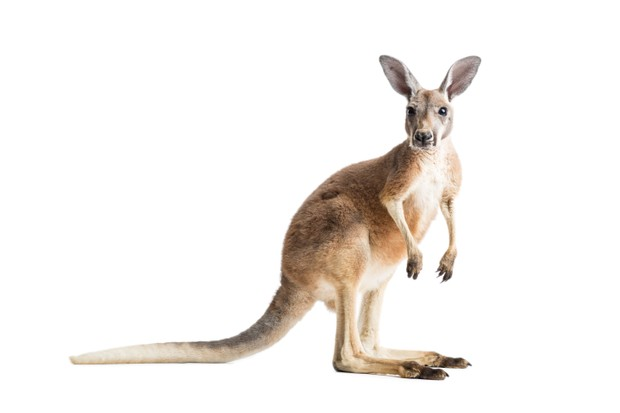 Red Kangaroo (Macropus rufus) on White