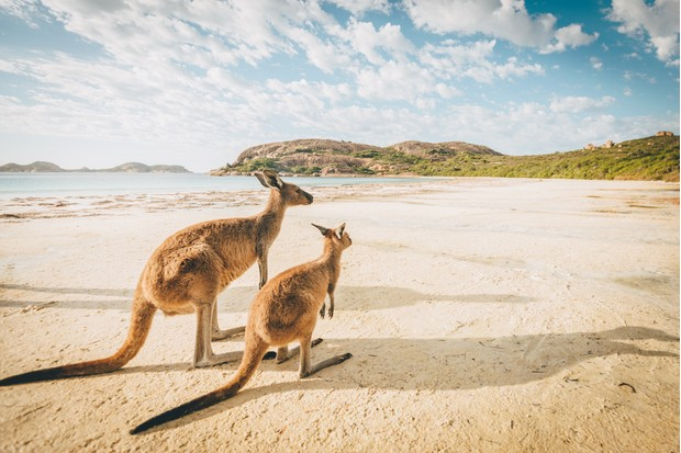 Kangaroos on Lucky Bay beach in Cape Le Grand national park, Western Australia