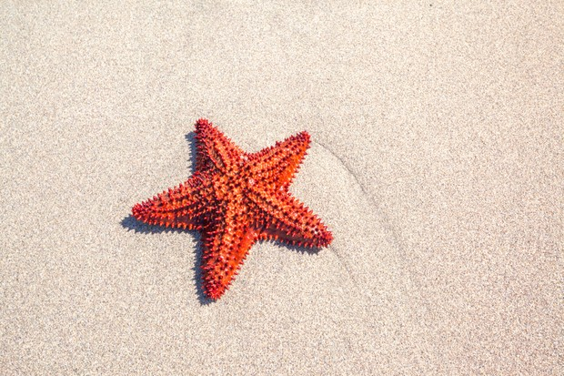 Red starfish on sand in Martinique, Caribbean