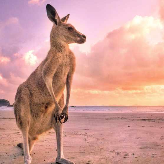 Kangaroo on the beach with powerful legs and big feet