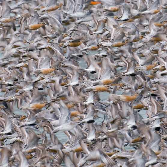 Knot Calidris canutus flock exploding from roost at Snettisham on the Wash Norfolk August