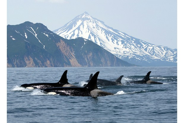 Orca pod in front of mountains