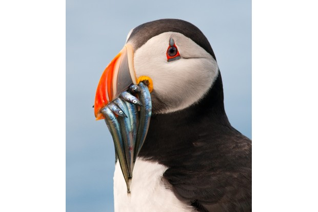 Atlantic puffin (Fratercula arctica) with sandeels in its beak on the Farne Islands, Northumberland