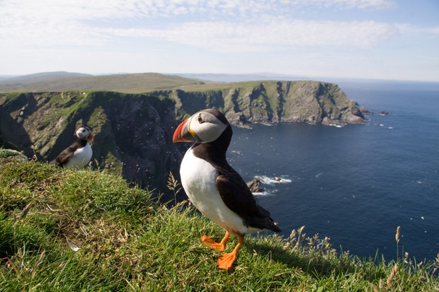 Atlantic Puffin Fratercula arctica at Hermaness, Shetland