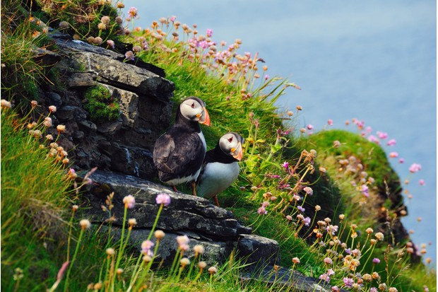 A pair of Atlantic puffins (Fratercula arctica) on Westray, Orkney