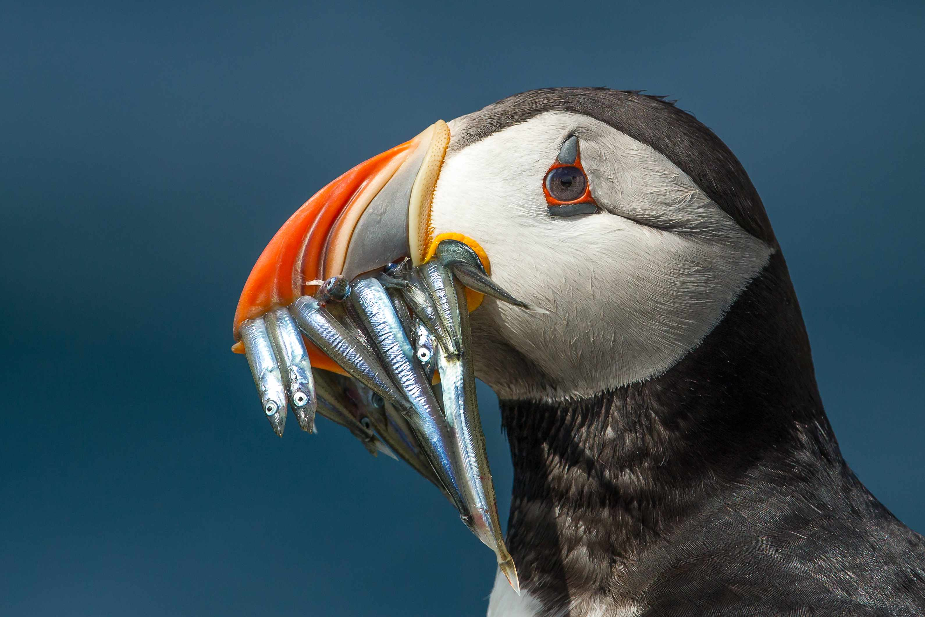Atlantic puffin (Fratercula arctica) with a beak full of sandeels