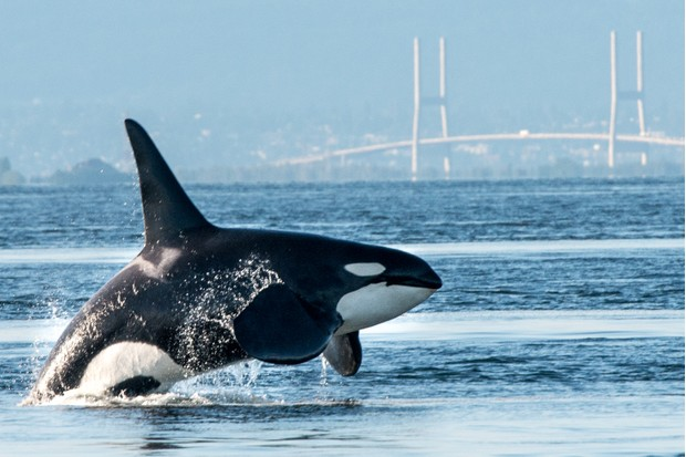 A large male orca aka killer whale breaching in Vancouver Harbour, Canada