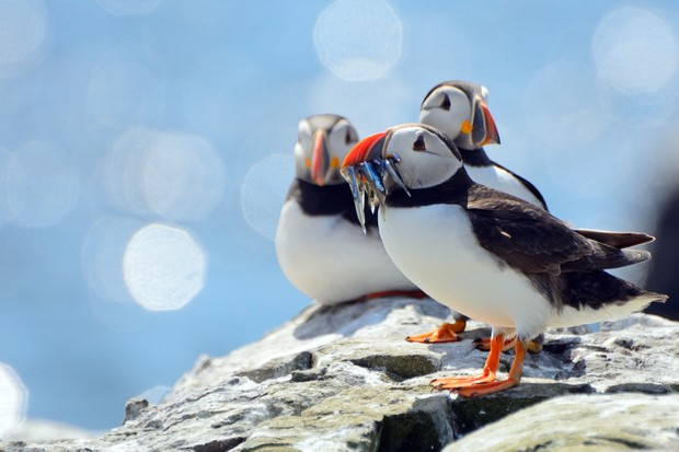 Atlantic puffins (Fratercula arctica) in summer sunshine on the Farne Islands