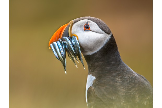 Puffin Portrait (Fratercula arctica) with beek full of sandeels on its way to nesting burrow in breeding colony