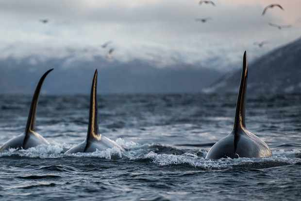 Three big male orcas swimming together near a fishing boat.