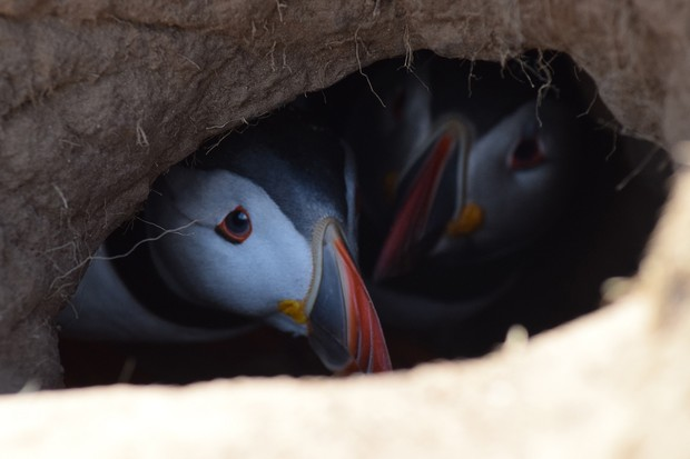 Pair of puffins in nest burrow