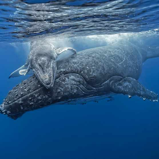 Humpback whale (Megaptera novaeangliae) mother and calf, Kingdom of Tonga""