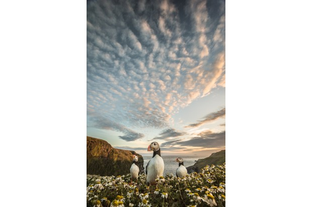 Skomer puffins photographed at sunset