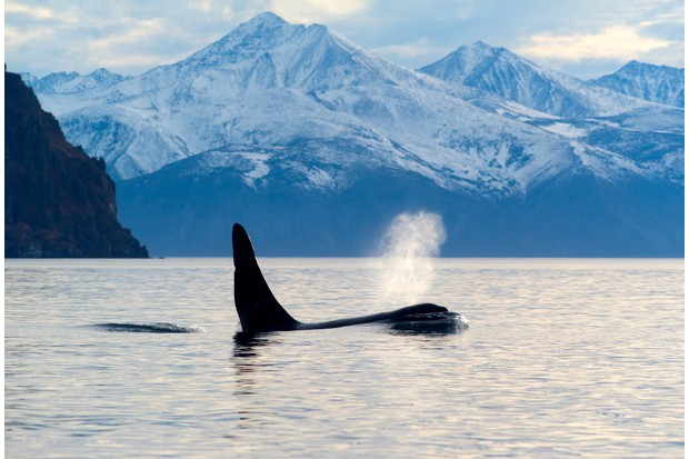 Orca surfacing and blowing air through its blowhole with mountains in the background