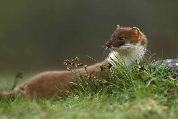 Stoat or weasel? How to tell the difference