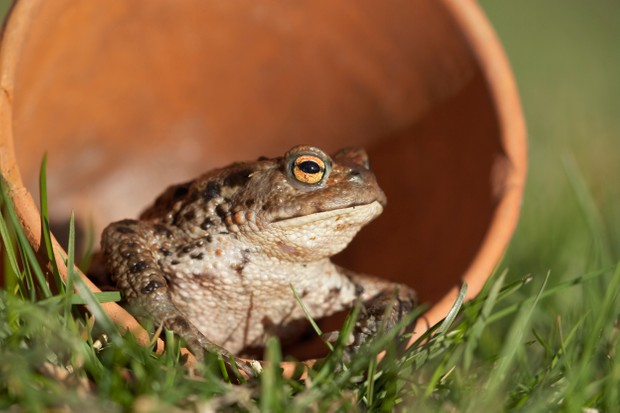 Common toad (Bufo bufo) sat in a clay flower pot