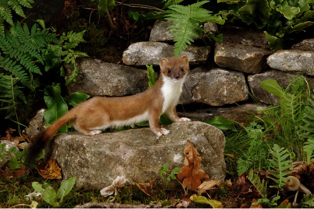 Stoat (Mustela erminea) showing off its characteristic black-tipped tail