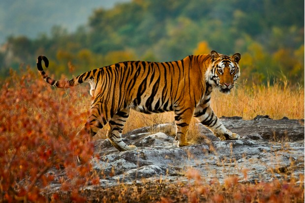 A large Bengal tiger in Bandhavgarh National Park, Madhya Pradesh, India