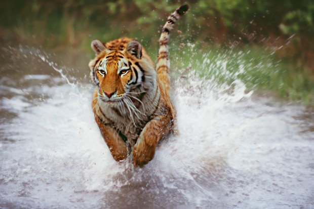 Tiger (Panthera tigris) charging through shallow water
