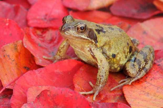 Common frog © Mike Lane / Getty