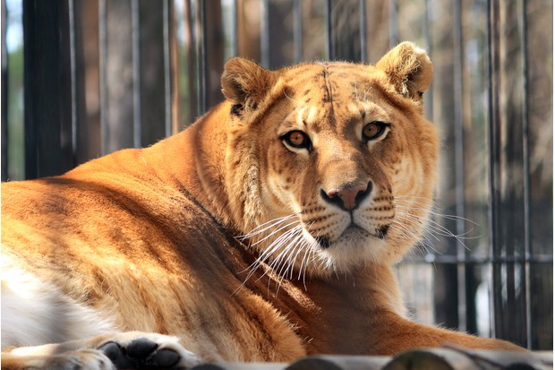 Liger in captivity (cross between a male lion and female tiger)