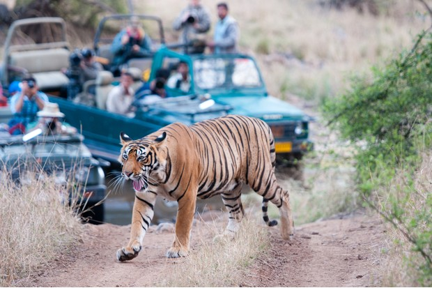 Bengal tiger being watched by tourists on safari in Ranthambore, India