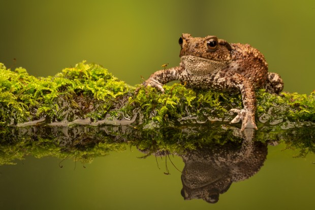 A common toad (Bufo bufo) and its reflection on the mossy edge of a pond