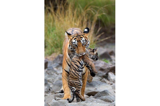 Baby Bengal tiger being carried by its mother while changing dens.