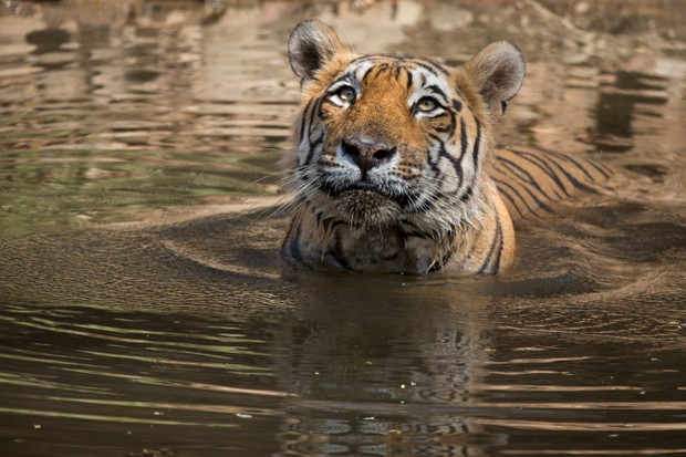 Bengal tiger swimming in Ranthambhore National Park, India. © Andy Rouse/Getty