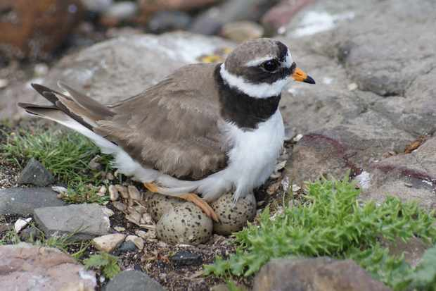 Ringed plover sitting on a nest containing eggs. © Kathryn Firth/Getty