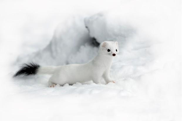 Ermine stoat (Mustela erminea) in winter coat