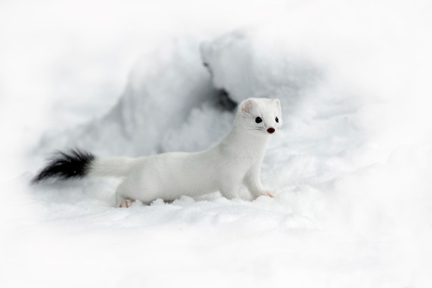 stoat or weasel how to tell the difference between stoats and