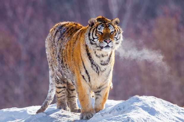 The Siberian tiger in the snow. © Danita Delimont/Getty