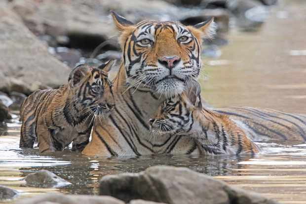 A female Bengal tiger mother with 2 month old cubs in Ranthambhore, India. © Andy Rouse/Getty