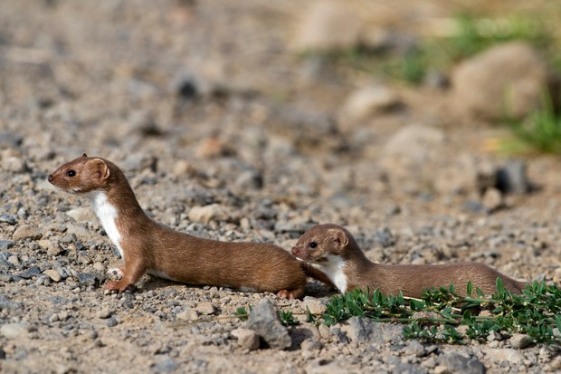 Adult weasel leading its young across a path
