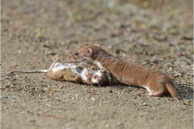 Weasel with a mouse it's just killed