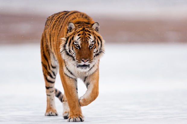 The Siberian tiger is walking carefully. His body is seen from the front side. His mouth is partially open. He turns his head slightly towards to the right side.
