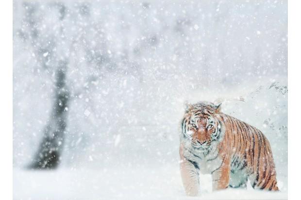Siberian tiger in a snowstorm.