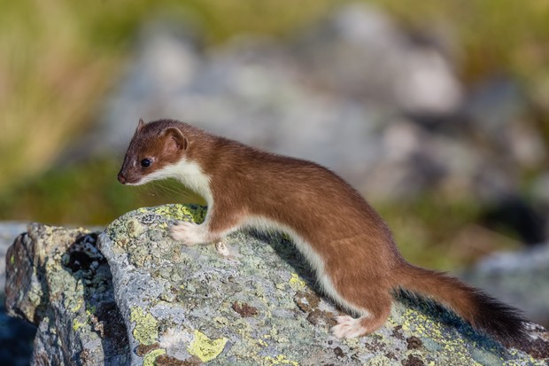 A stoat hunting on a rocky outcrop