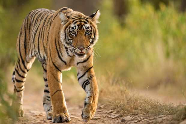 A wild Bengal tiger walking in Ranthambhore national park in India. © Aditya Singh/Getty