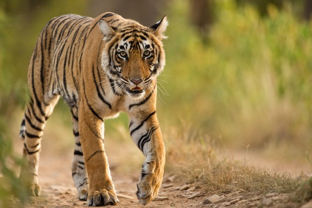 14 Amazing Facts About Tigers Tiger Pictures Discover