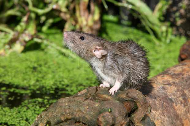 Brown rat. © Mike Lane/Getty