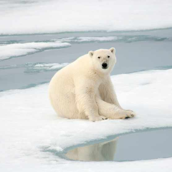 Polar bear seated on ice flow, Spitsbergen, Norway. © Howard Perry/Getty