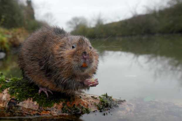 Water vole © Mike Lane / Getty