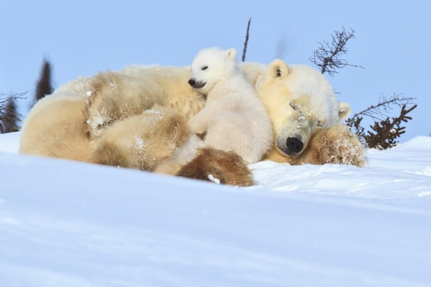 A mother polar bear cuddling up with her young cubs after leaving their den for the first time