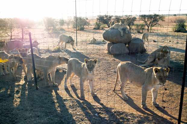 Lions rest at a breeding farm in South Africa. © Per-Anders Pettersson/Getty