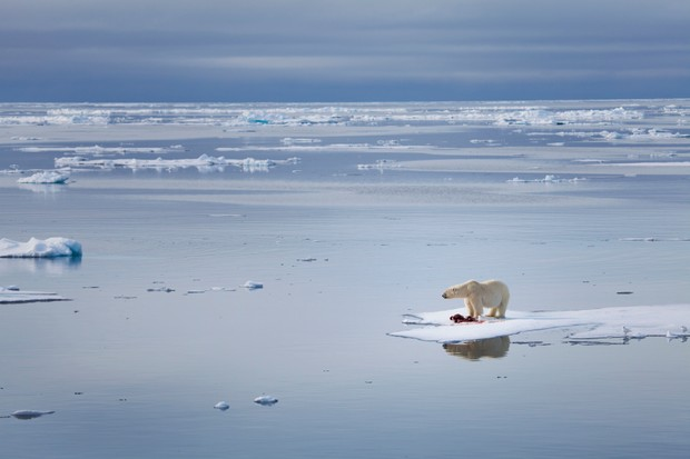 Polar bear (Ursus maritimus) on melting sea ice.